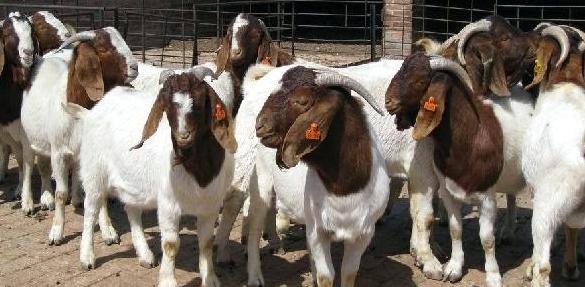 畜牧业生产中信息技术的应用