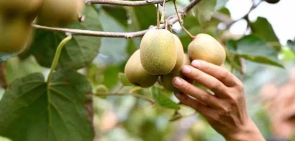 猕猴桃种植技术如何助力精准扶贫