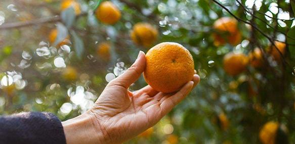 优质新会柑树栽培技术