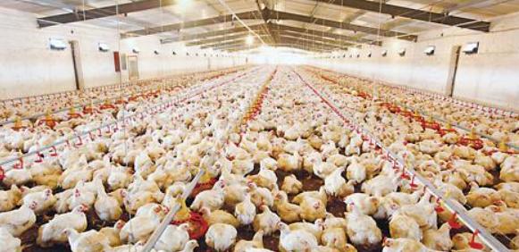肉鸡规模养殖场健康养殖技术