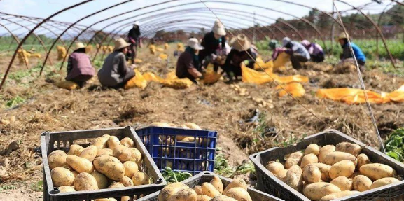 推进南疆马铃薯主食化产业发展的思考