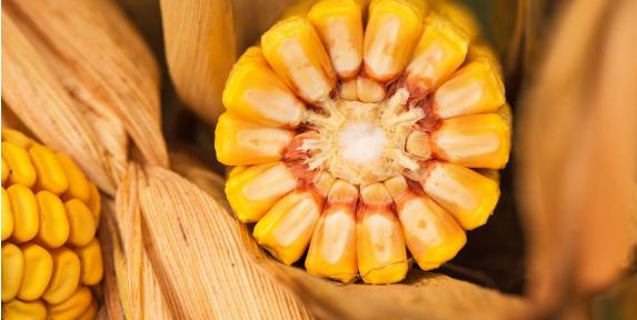 大田玉米高产种植技术探讨