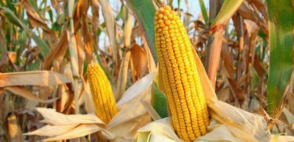 谈山地玉米高效种植技术要点