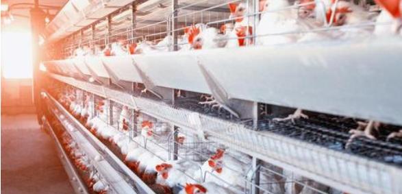 光照对家禽生长繁殖的影响