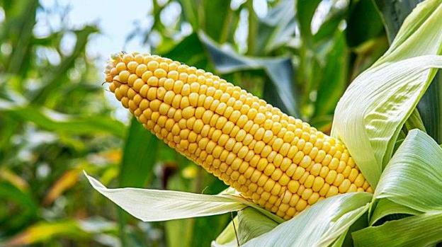 玉米调整种植结构的利与弊