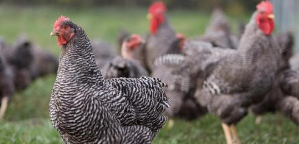乌鸡与芦花鸡的养殖技术